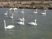 松川の白鳥13羽2.jpg