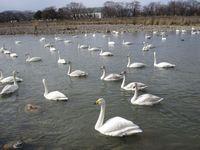 松川の白鳥92羽1.jpg