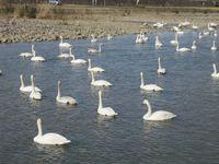 松川の白鳥92羽2.jpg