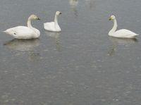 松川の白鳥08.jpg