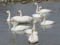 松川の白鳥09.jpg