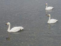 松川の白鳥10.jpg