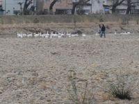 松川の白鳥13.jpg