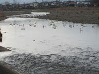 松川の白鳥64羽1.jpg