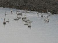 松川の白鳥64羽2.jpg