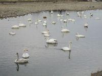 松川の白鳥64羽3.jpg