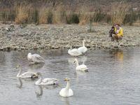 松川の白鳥ウォッチャー1.jpg