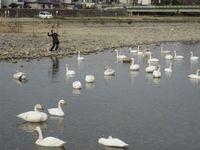 松川の白鳥フィーダー1.jpg