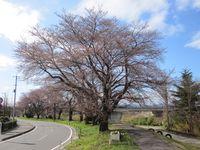 My桜.jpg