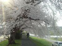 去年の桜.jpg