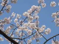 信夫山天満宮の桜.jpg