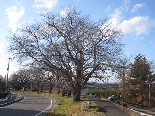 松川堤防の桜