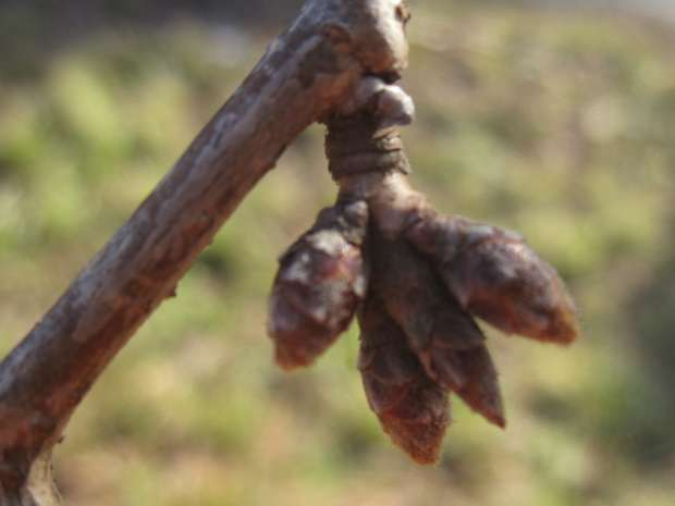 松川堤防の桜のつぼみ