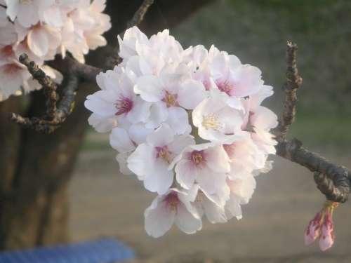 桜の花(2009年)