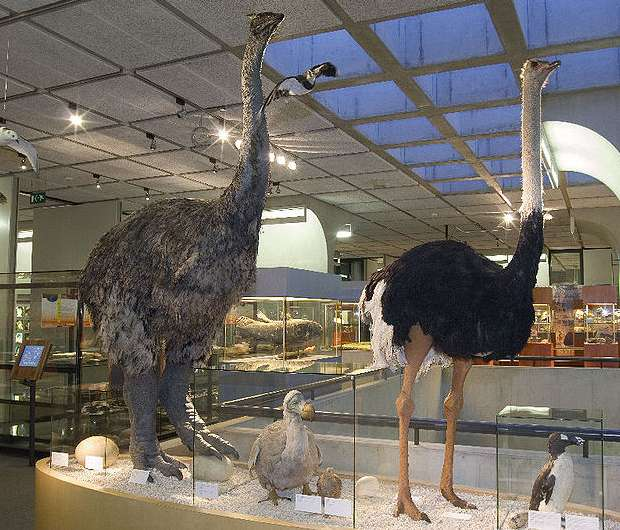Aepyornis, dodo and ostrich in the Museon exhibition