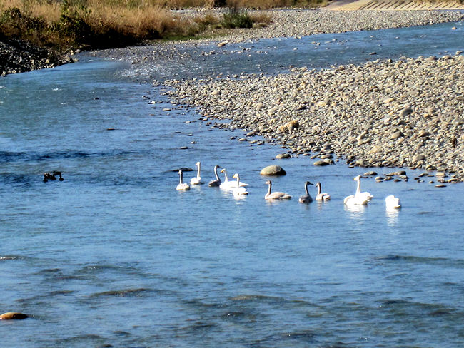 松川の白鳥(近くから)