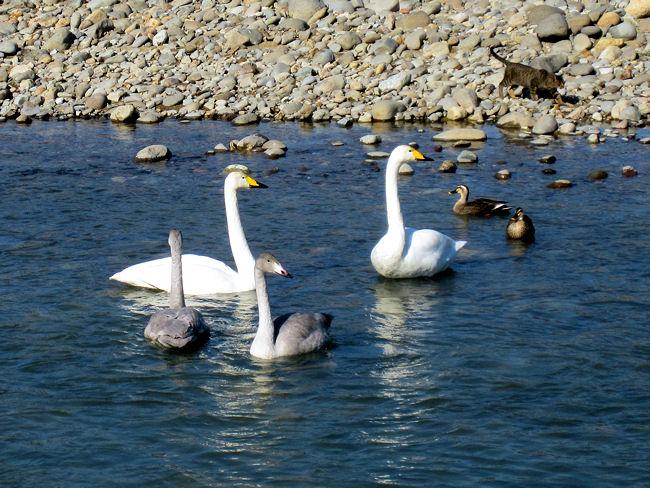 松川の白鳥とカルガモと猫