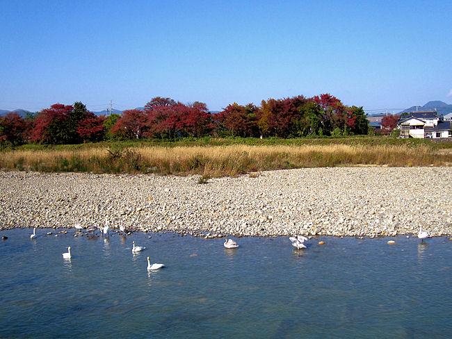 松川の白鳥(11羽)
