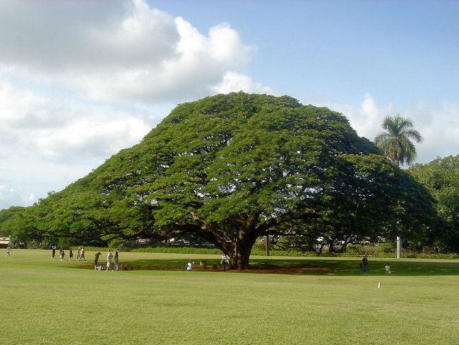 オアフ島にある「モンキーポッド」の日立の樹.jpg