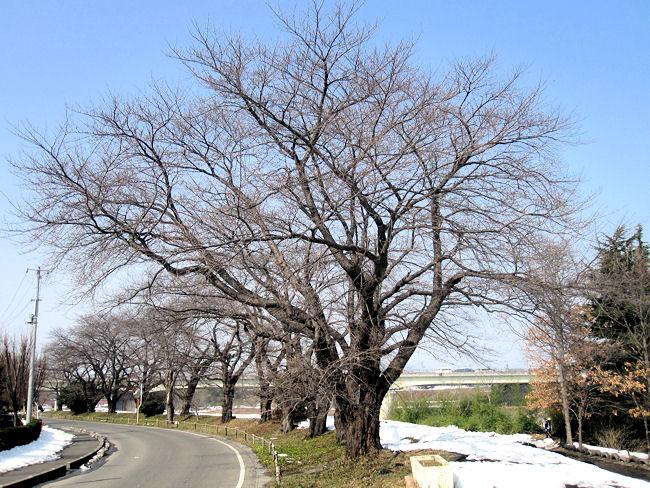 松川堤防の桜(2014年2月26日)