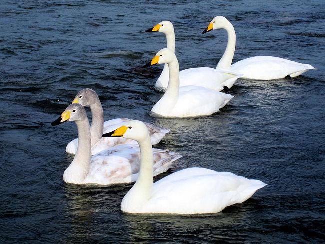 松川の白鳥