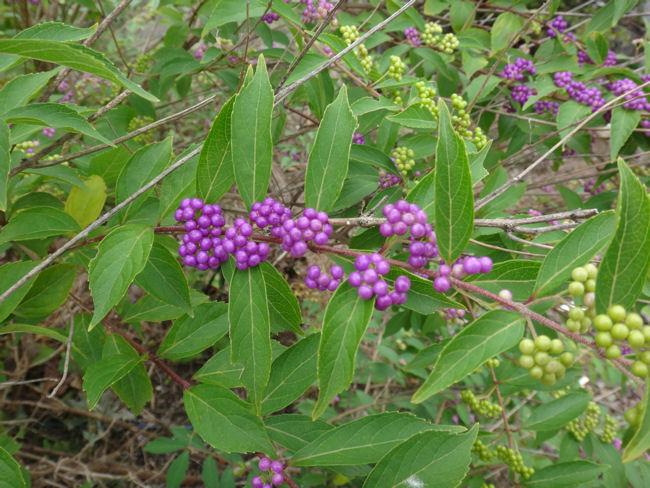 コムラサキの葉