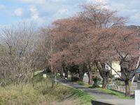 My桜他の場所.jpg
